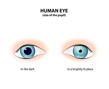 Menselijk oog. Grootte van de pupil in het donker en in een helder verlichte plek. Pupil Dilated en Leerling ingesnoerd
