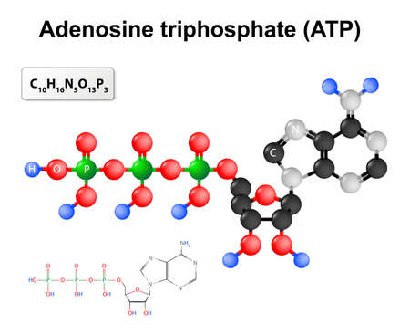 structural formula: Adenosine triphosphate. Structural formula and chemical formula and molecular model of ATP.