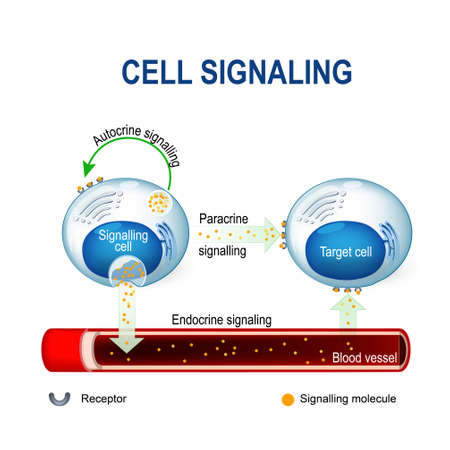 cell signaling. Signalling mechanism in cells: intracrine, autocrine and endocrine signals. Ilustração