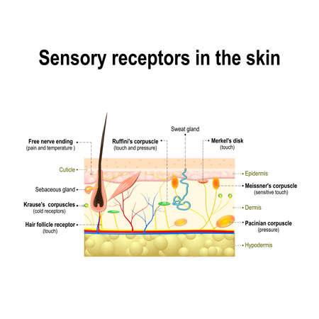 menselijke zintuiglijke systeem in de huid. Druk, trillingen, temperatuur, pijn en jeuk worden via speciale receptory organen en zenuwen