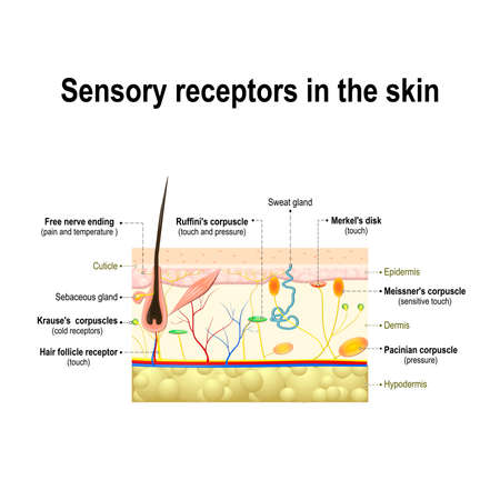 human sensory system in the skin. Pressure, vibration, temperature, pain and itching are transmitted via special receptory organs and nerves Vectores