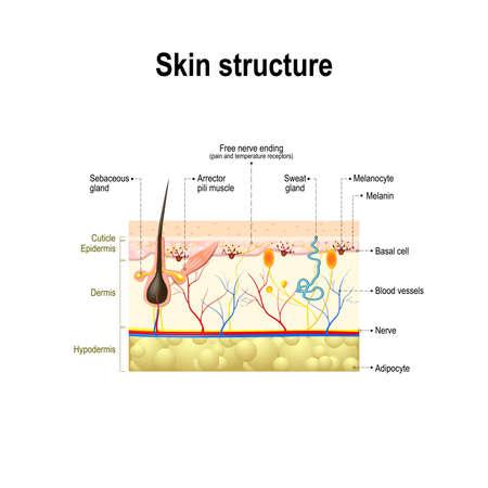 de menselijke huid en haar structuur. dwarsdoorsnede van de menselijke huid. Anatomie diagram. Stock Illustratie
