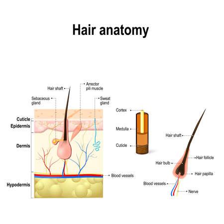 Anatomía humana del pelo. Diagrama de un folículo piloso y la sección transversal de las capas de la piel