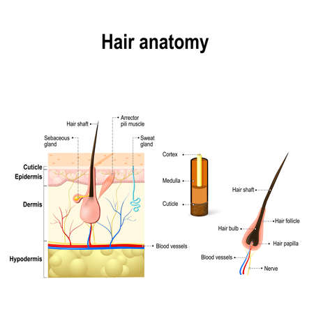 human Hair Anatomy. Diagram of a hair follicle and cross section of the skin layers