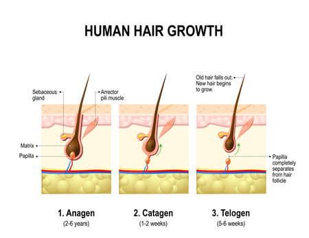 Hair growth. anagen is the growth phase; catagen is the regressing phase; and telogen, the resting or quiescent phase. Vector diagram Vettoriali