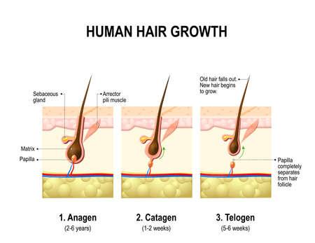 Wzrost włosów. Anagen jest fazą wzrostu; Katagen jest fazą regresji; I telogen, faza spoczynku lub spoczynku. Schemat wektorowa