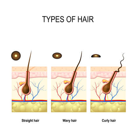 different types: Types of hair: straight, wavy, and kinky. cross section of  Human skin layers with hair follicle. Cross section of different hair texture Illustration