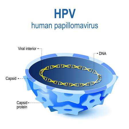 Hpv - Humane papillomavirus. Vector illustratie van Viral interieur. Dwarsdoorsnede van capsid papillomavirus met virale DNA. HPV is een infectie die vratten en baarmoederhalskanker veroorzaakt Stock Illustratie