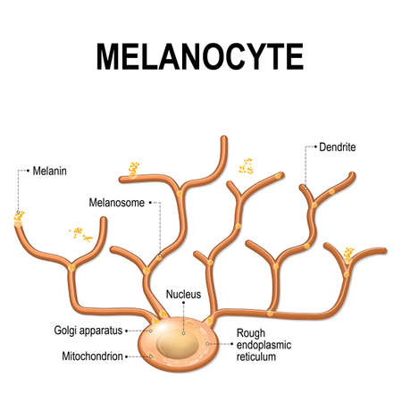 Structure of Melanocyte (melanin producing cells). Melanin is the pigment responsible for skin color