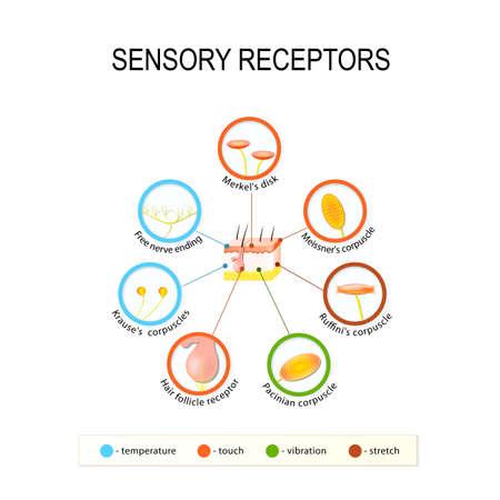 la piel humana y los receptores sensoriales. Presión, vibración, temperatura y toutch se transmiten a través órganos receptory especiales y los nervios.