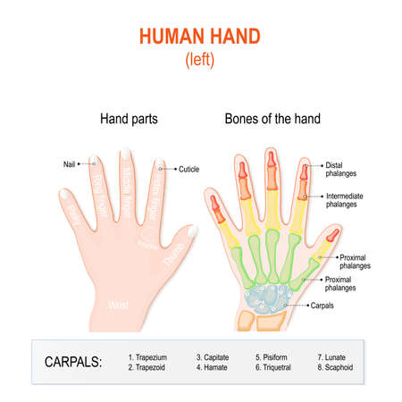 labelled: Human hand parts and Bones. Left hand on the white background. Skeletal System and Phalanges fingers. anatomy of human hand and wrist. Labeled Illustration