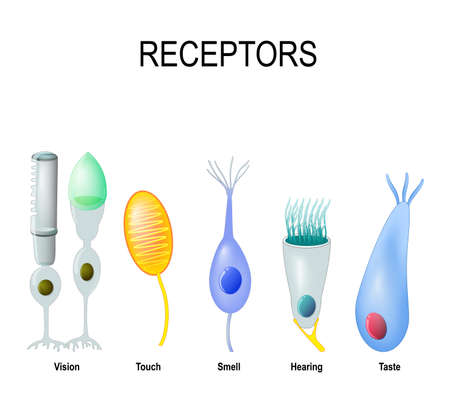 Receptor cells: rod and cone (Vision), Meissners corpuscle (touch), Olfactory receptor (smell), hair cell (Hearing) and gustatory cell (taste). Human anatomy
