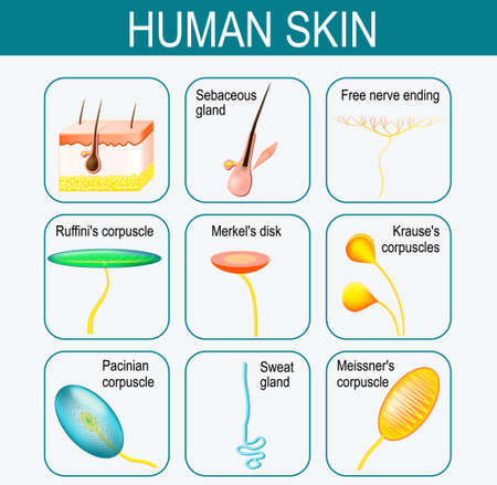 itching: Elements of the human skin. Set icons. glands and sensory system in the skin. Pressure, vibration, temperature, pain and itching are transmitted via special receptory organs Illustration