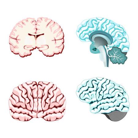 Section transversale isolée du cerveau. Illustration du cerveau humain pour la conception médicale ou l'étude. Définir l'illustration des parties du cervelet: thalamus, hypothalamus, glande pinéale et autres. Facile à recolorer.