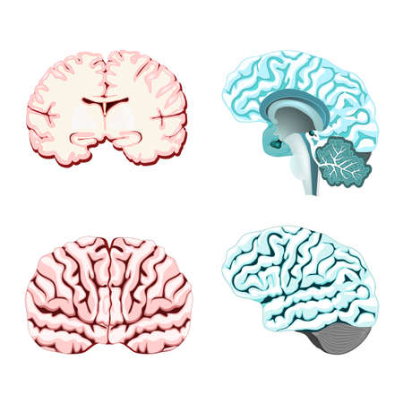 Isolated brain cross section. Illustration of human brain for medical design or study.  Set illustration of parts cerebellum: thalamus, hypothalamus, pineal gland and other. Easy recolor. Illustration