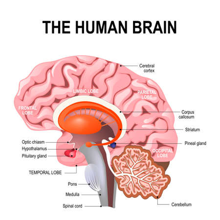 detailed anatomy of the human brain. Illustration showing the medulla, pons, cerebellum, hypothalamus, thalamus, midbrain. Sagittal view of the brain. Isolated on a white background.