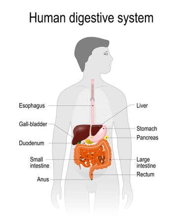 labelled: The human digestive system or digestive tract. Labelled. the location of the gastrointestinal tract in the human body. silhouette of a man. vector illustration. easy to edit Illustration