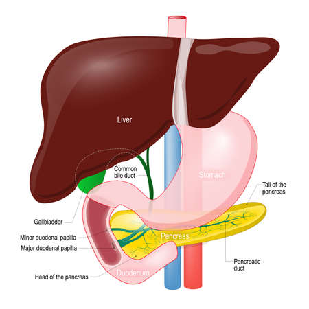 Gallbladder duct. anatomy of the pancreas, liver, duodenum and stomach. Detailed description Stock Illustratie