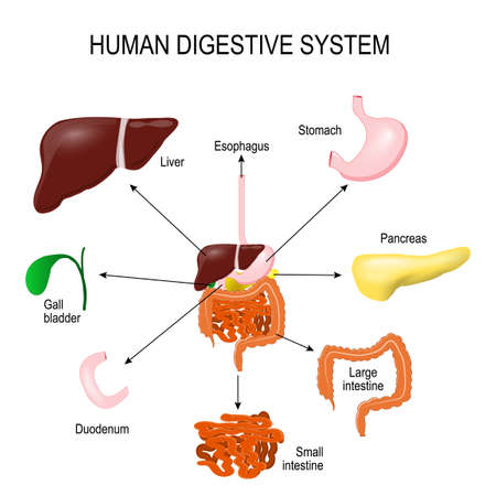 labelled: Human Digestive System with all parts: stomach, gall bladder, liver, duodenum, pancreas, large and small intestine. abdomen anatomy. area science  and education