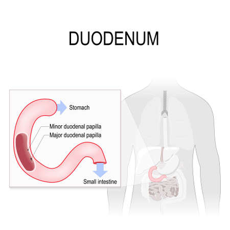 duodenum: Duodenum anatomy. anatomical locations labelled. Human silhouette with highlighted internal organs