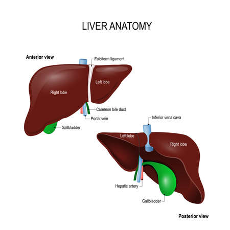Human liver anatomy. front, back and two lobes. location of the gallbladder and blood vessels. illustration for science, medical and educational textbook. vector illustration. easy to edit