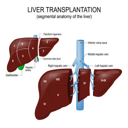 Liver transplantation. segmental anatomy of the liver and blood supply. Human anatomy