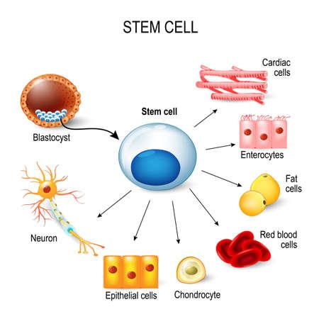 줄기 세포. 배아에서 나온이 내부 세포 덩어리. 이 줄기 세포는 신체의 어떤 조직이 될 수 있습니다. 예 : 신경 세포, 연골 세포, 장 세포, 적혈구, 근육, 지방 또는 상피 세포 벡터 (일러스트)