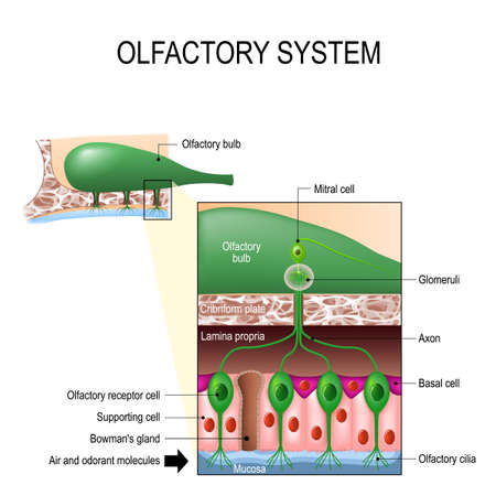 cilia: olfactory system inside the human head. Sense of smell. the olfactory bulb at the top which connects to scent cells at the bottom to identify odors Illustration