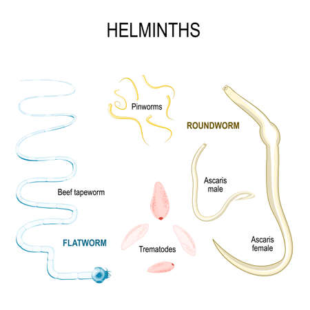 Helminths. types of human parasites. flat and round worms. Ascaris, trematodes, beef tapeworm, and Pinworms.