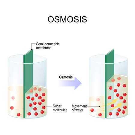 Osmosis. Water passing through a semi-permeable membrane into a region of higher sugar concentration.
