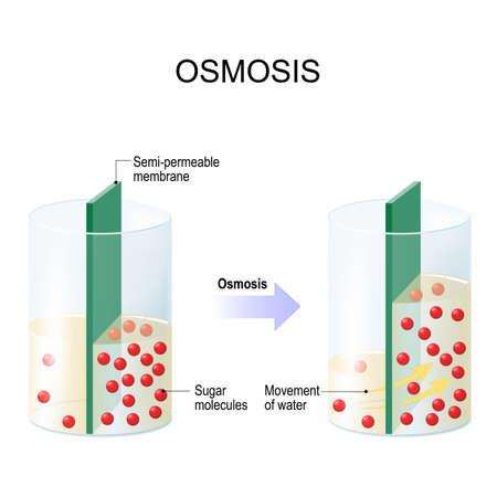 Osmose. Water dat door een semi-doorlatend membraan gaat in een gebied met een hogere suikerconcentratie.