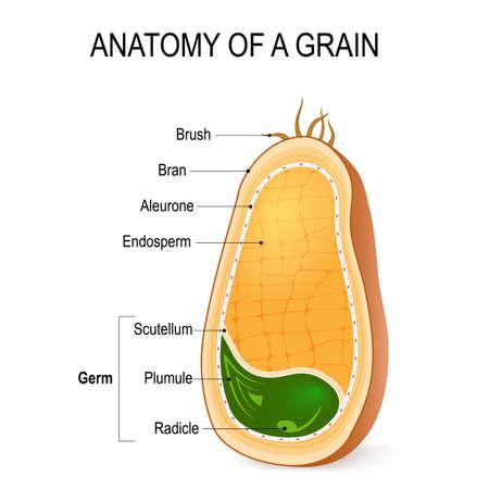 Anatomie van een korrel. dwarsdoorsnede. Binnen het zaad. Delen van volgraan: endosperm, zemelen met aleuronelaag, kiem (radicale, plumule, scutellum) haarborstels.