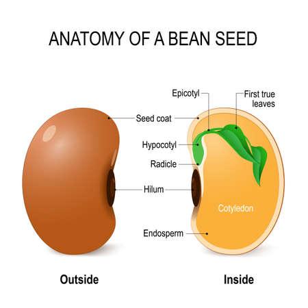 Anatomía de una semilla de frijol. Diagrama vectorial