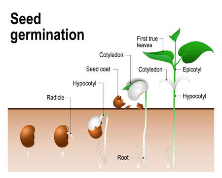 germinate: Seed germination.  Early stages of growing of bean seed. The most common example of process of germination from a seed. Plant Development