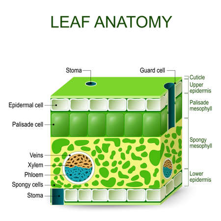 stoma: Leaf anatomy. Vector diagram on a white background.