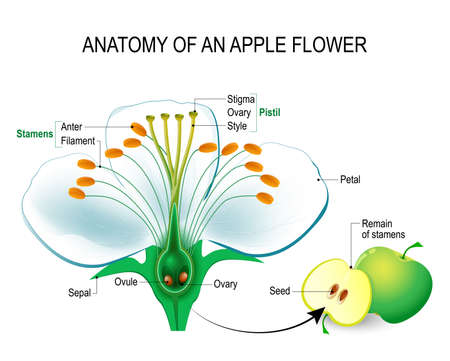 Anatomy of an apple flower. Flower Parts. Detailed Diagram with cross section. useful for study botany and science education. Flower and fruit
