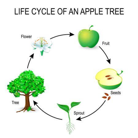 manzana: Ciclo de vida de un manzano. Flor, semillas, fruta, germinación, semilla y árbol. El ejemplo más común de germinación de una semilla y ciclo de vida del árbol. Útil para el estudio de la botánica y la educación científica