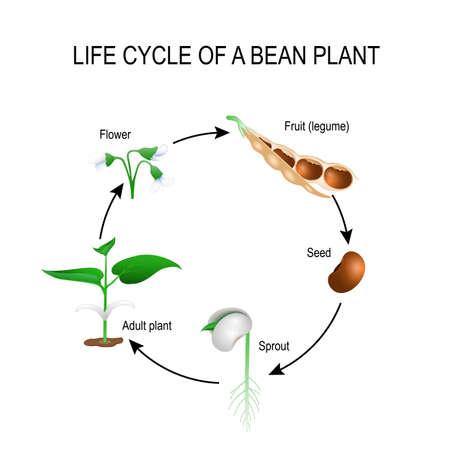 Levenscyclus van een bonenplant. Stages van het groeien van boonzaad. Het meest voorkomende voorbeeld van levenscyclus van een zaad naar volwassen plant. Plantontwikkeling. Nuttig voor studie botanica en wetenschappelijk onderwijs Stock Illustratie