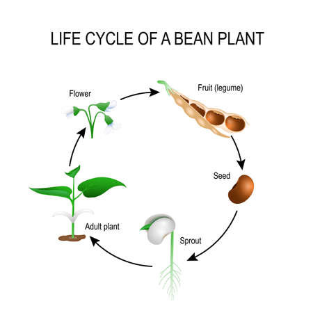 life cycle of a bean plant. Stages of growing of bean seed. The most common example of life cycle from a seed to adult plant. Plant Development. Useful for study botany and science education Imagens - 75006915