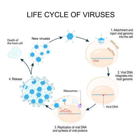 Viren Lebenszyklus zum Beispiel Adenoviren (am häufigsten verursachen Atemwegserkrankungen). Schematische Darstellung.