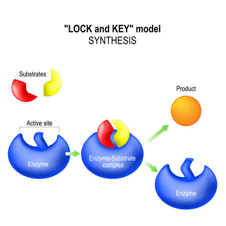 enzyme: Enzyme. lock and key model. synthesis. metabolic processes. enzyme-substrate complex, substrate, product and active site. Illustration