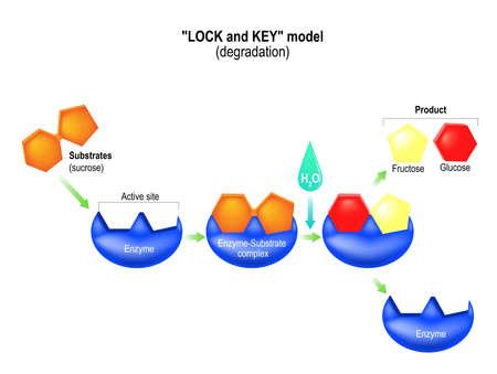 Modelo de bloqueo y llave. Degradación. Procesos metabólicos. Complejo enzima-sustrato, sustrato, producto y sitio activo.