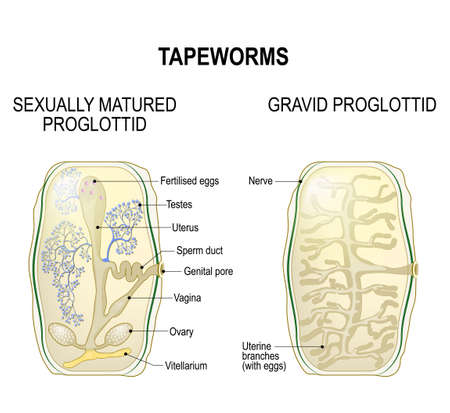 Pork Tapeworm Diagram Trusted Wiring Diagram