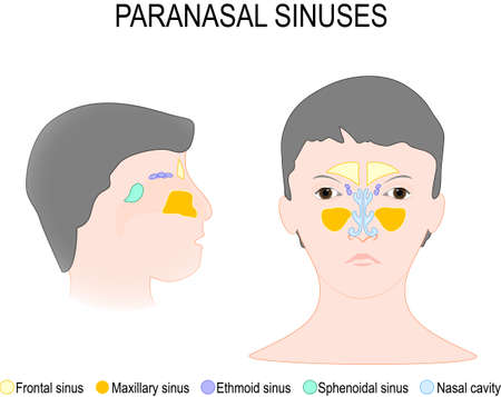 ethmoid: Paranasal Sinus and Nasal Cavity. Frontal, ethmoidal, sphenoidal and maxillary sinuses. Anterior and lateral view. Illustration
