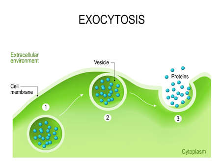 vesicles: Exocytosis. Cell transports molecules out of the cell. vesicles are carried to the cell membrane, fuses with membrane, contents are secreted into the extracellular environment. Illustration