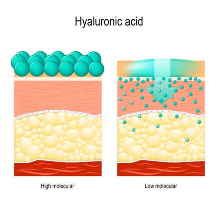 Ácido hialurónico. Ácido hialurónico en productos para el cuidado de la piel. Bajo molecular y alto molecular. Diferencia Ilustración de vector