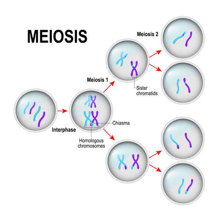meiosis. Celdeling en interfase. In het illustratie gelabelde chiasma, Sister-chromatiden en homologe chromosomen. vector diagram Stock Illustratie