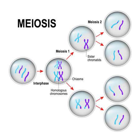 mitosis. División celular e interfase. En la ilustración se llama chiasma, Sor Chromatids y cromosomas homólogos. Diagrama vectorial