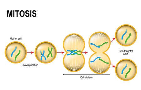 Cell division. Mitosis. Vector scheme Stock Illustratie