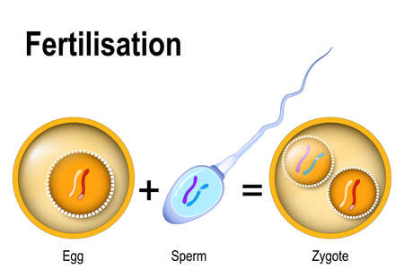 Fertilization. Zygote is egg plus sperm genetically different individuals. Fusion of two haploid gametes to form a diploid zygote.